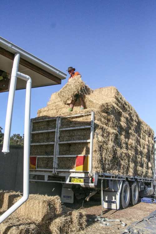 Unloading straw bales.